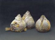Gedroogde hyacintbollen © Aad Hofman