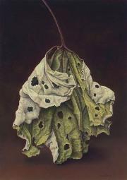 Groot hoefblad / Butterbur © Aad Hofman